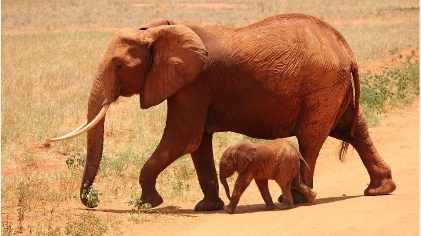 ¿Por qué vivimos más que un elefante?(MaxPixel)