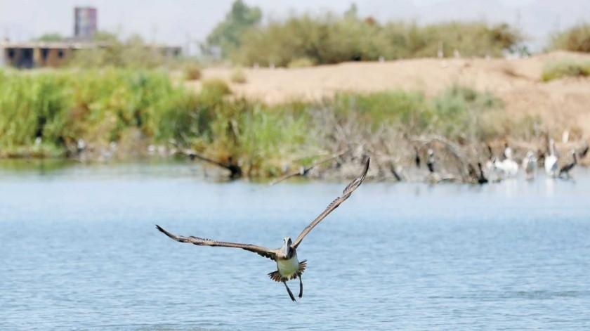 •Las lagunas de Mexicali pueden ser un sitio de descanso para aves migratorias.