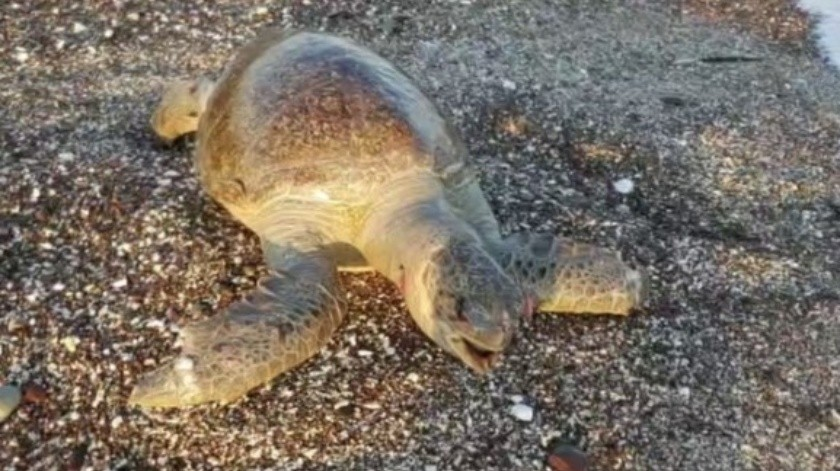 Bañistas ayudaron a sacar a la tortuga del agua que ya estaba hinchada.