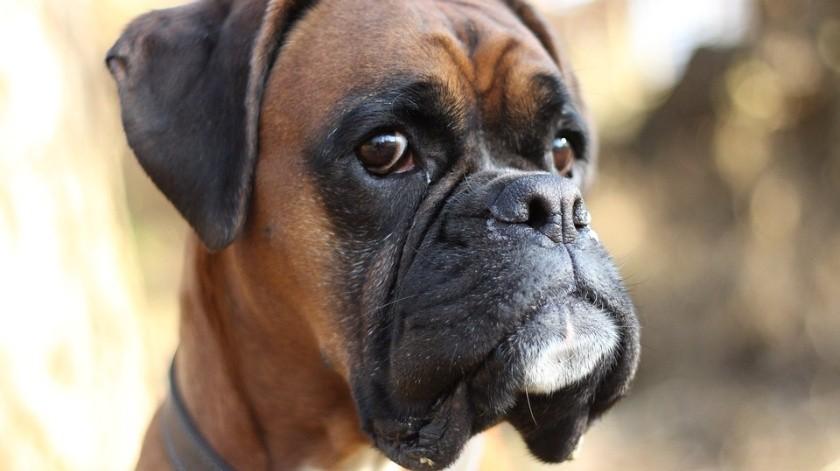 VIDEO: Perro manifiesta su enojo porque su dueño lo dejó en el veterinario(MaxPixel)