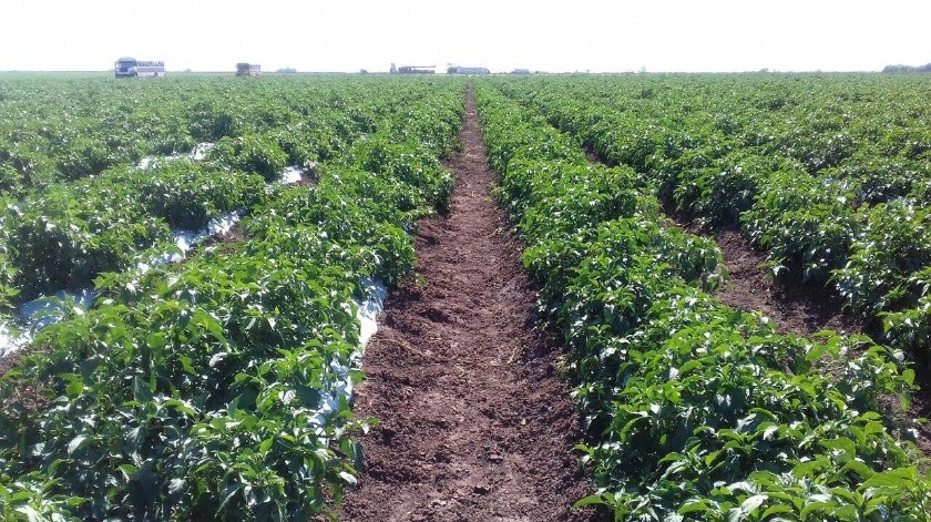 Foto ilustrativa. Se espera sembrar una superficie de 300 hectáreas de chile.(Banco Digital)