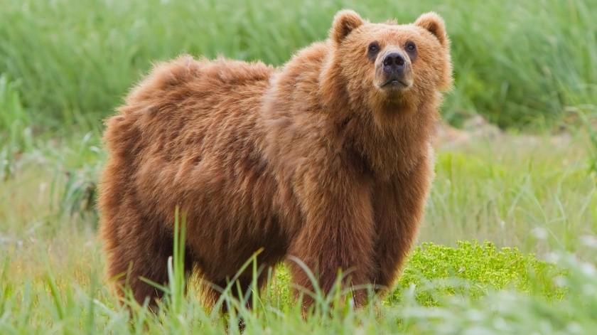 Vladímir es uno de los 10 osos que viven en un refugio, y fue encontrado en un lugar vacacional donde se escondía cuando tenía tres meses de edad.(Cortesía)