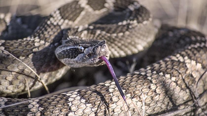 Hombre muerde a serpiente antes de morir por su veneno(Pixabay)