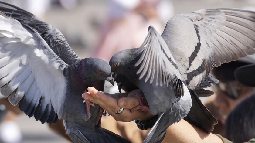 Uno de los principales riesgos de estos animales es el peligro de transmisión de enfermedades como la criptococosis y la histoplasmosis.(Pixabay)