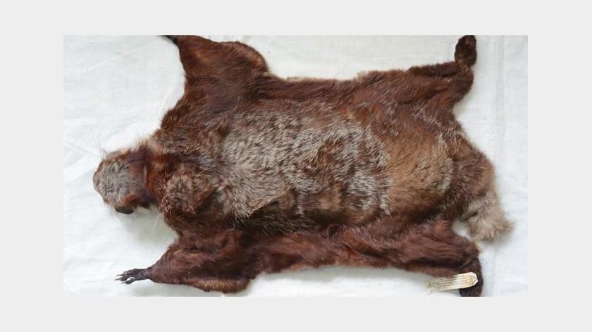 Descubren nueva ardilla voladora en China(Zookeys)
