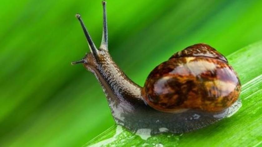 ¿La baba de caracol es realmente efectiva en el uso cosmético?(Archivo)