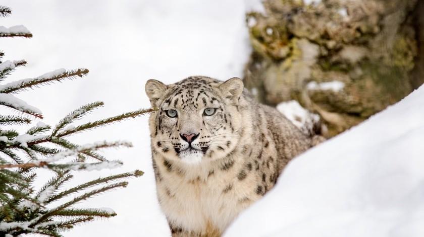 El canal chino CGTN publicó una grabación en la que aparecía una leoparda de las nieves, uno de los felinos más difíciles de avistar en el mundo, paseando con sus tres cachorros.(Ilustrativa/Pixabay)