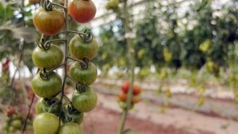 Celebran tomateros acuerdo con EU