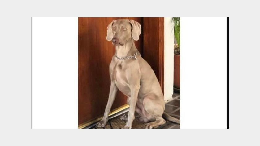 De acuerdo a la víctima, que reportó el hecho en sus redes sociales, la mascota fue robada cuando el cuidador fue asaltado en Colinas de Agua Caliente.