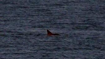 Avistan 6 vaquitas marinas en San Felipe