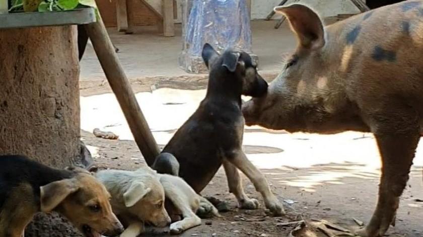 """La """"Chochis"""" es una cerdita que ha sido criada junto a tres perros en la comunidad de Guaymitas en el municipio de Navojoa."""