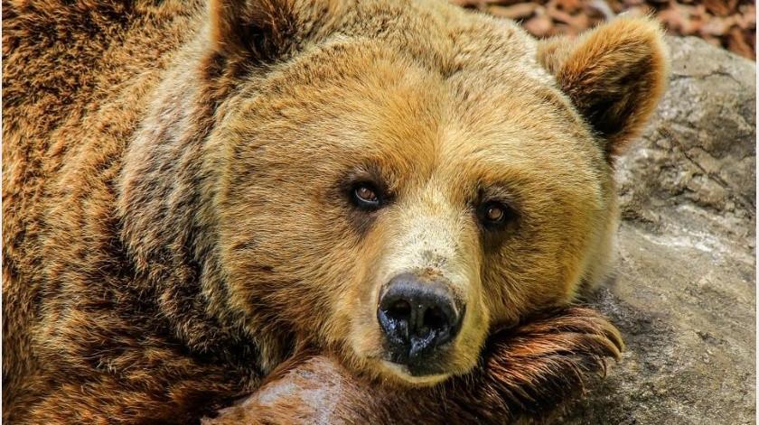 Personal de esta agencia localizó los restos mortales del oso y determinó que el animal no padecía de rabia u otras enfermedades.(Pixabay)