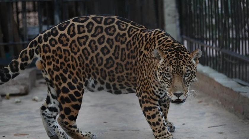 El jaguar y otras especies peligran por incendios en Amazonía