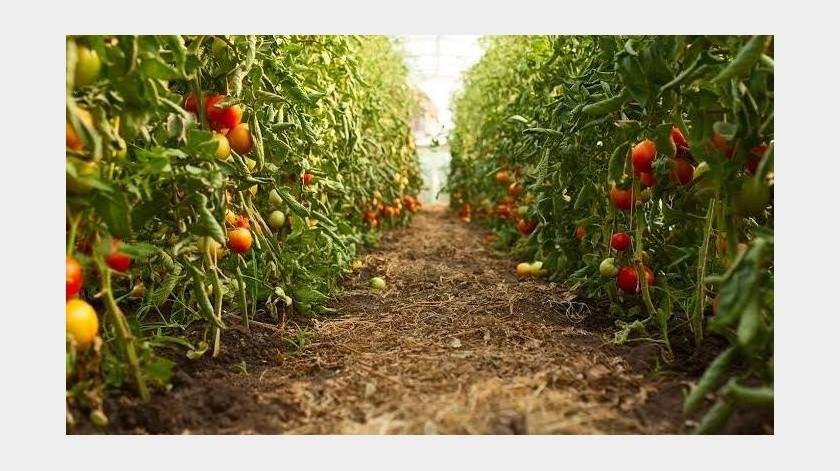 Con la siembra de mil 51 hectáreas, el tomate se coloca como el principal cultivo del ciclo agrícola Primavera-Verano 2019(Tomada de la red)