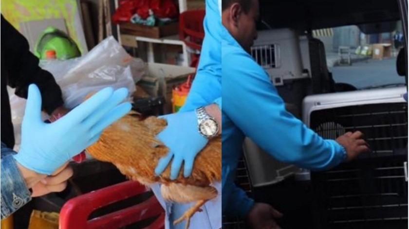 Protección Animal de Bogotá reportó el rescate de tres gallos que presuntamente estaban siendo abusados por su dueño.(Twitter@AnimalesBOG)