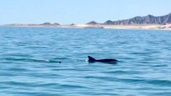 Afecta el cambio climático situación de vaquita marina