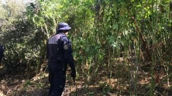Agentes federales incineraron alrededor de 224 mil 400 plantas de mariguana.