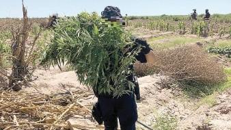 Hallan un plantío de mariguana en Poblado Miguel Alemán