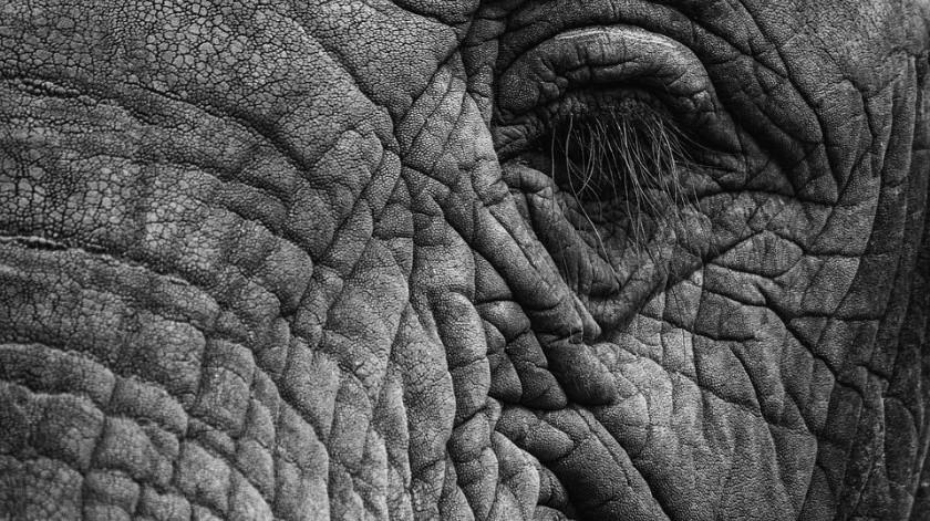 Cría de elefante huérfana regresa a su cuidador tras ser rechazado por manada(Pixabay)