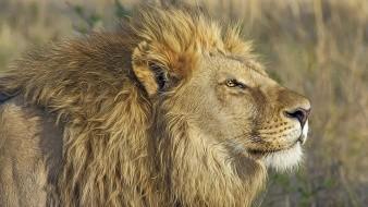 Detienen en Sudáfrica a hombre que transportaba 342 kilos de huesos de león