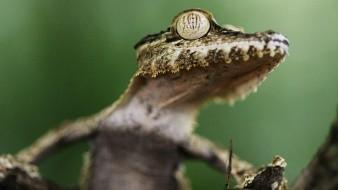 El geco, un reptil conocido además como salamanquita de Monito (Sphaerodactylus micropithecus).