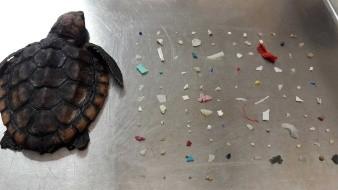Tortuga bebé es hallada muerta tras ingerir 104 piezas de plástico