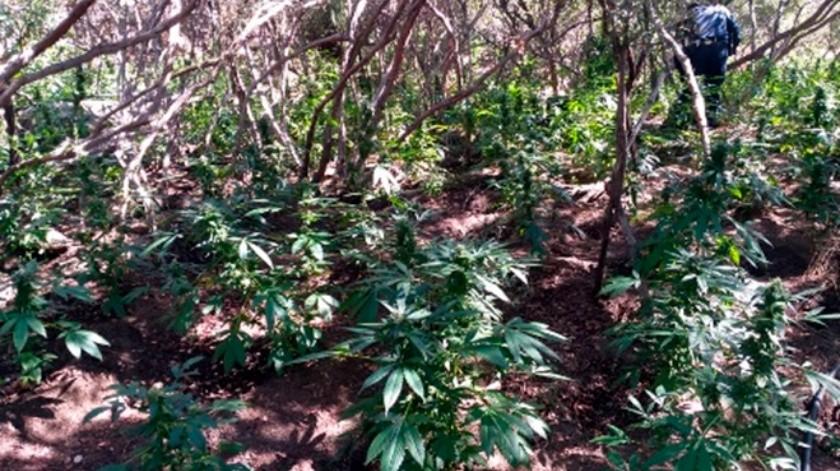 Localizan 5 plantíos de mariguana en Tecate(Cortesía)