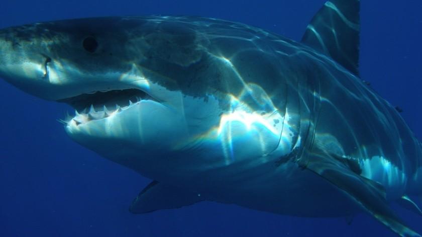 Tiburón blanco ataca un kayak y deja par de dientes clavados en la embarcación(Pixabay)