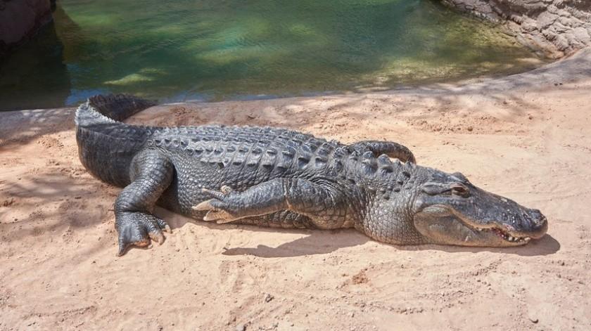 Detienen a un hombre en Florida por intentar emborrachar a un caimán(Pixabay)