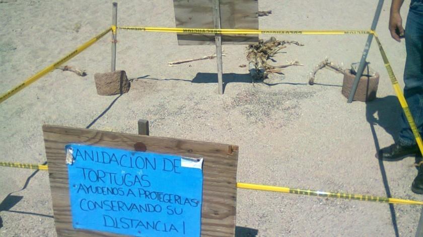 Regresan tortugas a desovar a Guaymas y San Carlos(Yesicka Ojeda)