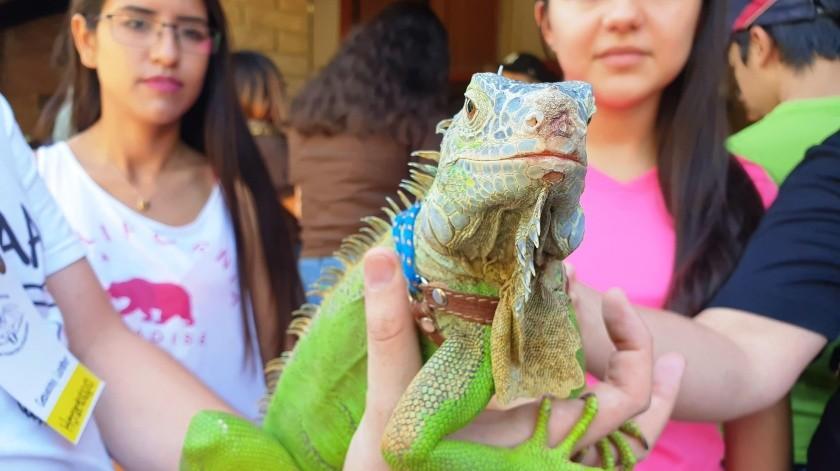 Iguana bebé fue el atractivo en el Festival de Insectos y Arácnidos(Julián Ortega)