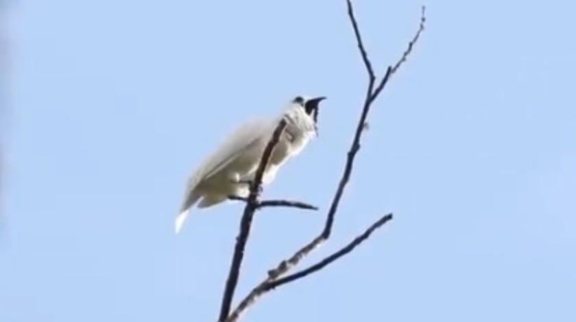 VIDEO: El pájaro con el canto más ruidoso del mundo(Cortesía)