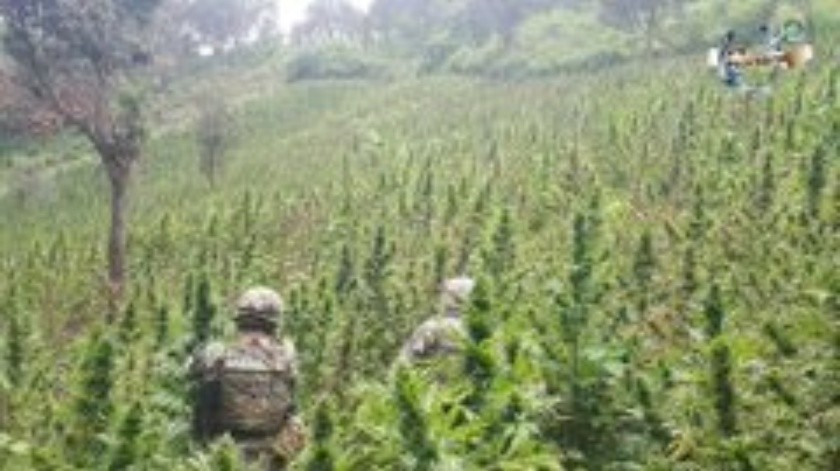 Elementos de la Martina destruyeron plantíos de mariguana y amapola en el estado de Guerrero.(Twitter Semar.)