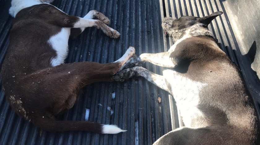 'Cookie' y 'Chaparro', dos alegres mascotas mueren envenenadas(ESPECIAL)