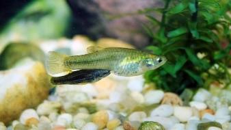 Rescatan al pez Gila Topminnow