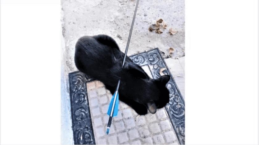 """""""Vivi"""", como se llama la gatita lesionada, se recupera satisfactoriamente en su hogar.(Especial)"""