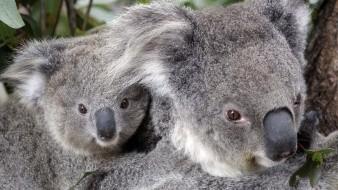Los koalas trepan a lo alto de los árboles durante los incendios y pueden sobrevivir si el frente pasa rápido por debajo.