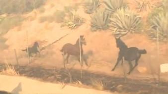 VIDEO: Caballo regresa por su manada en medio de los incendios en California