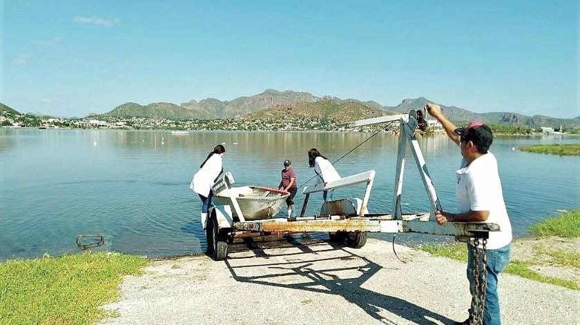 Siembran ostión japonés en bahía de Guaymas(Especial)