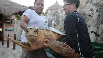 Regresan a tortugas marinas a su hábitat tras tratamiento médico
