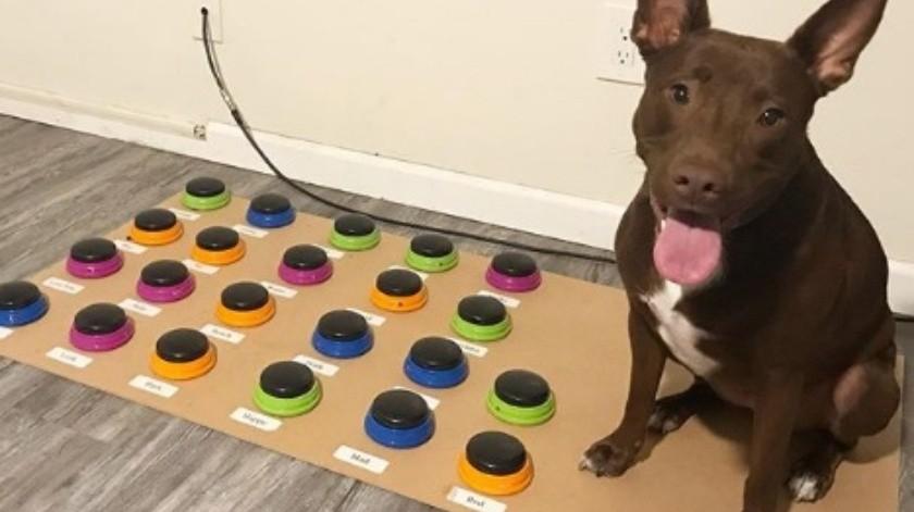 Perro aprende a comunicarse a través de un sistema de botones(Cortesía)