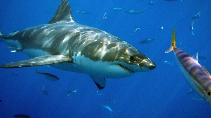Investigador del Cicese analiza la importancia del tiburón en el Noroestede México