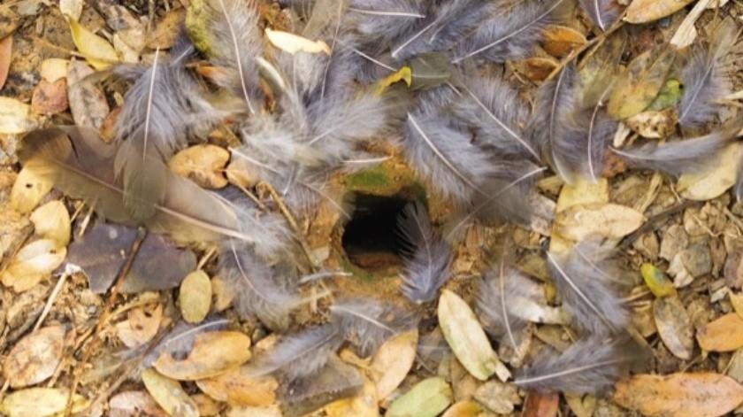 Esta hormiga carnívora crea trampas con plumas para atrapar a sus presas(Cortesía)