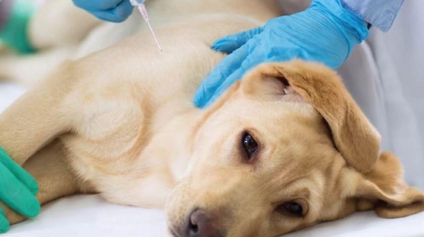 Se ha documentado que ciertas razas caninas, tiene un mayor riesgo de desarrollar diabetes mellitus.(Tomada de la red)