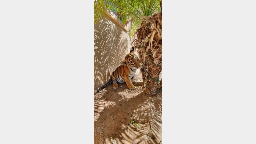 Luego de ser adquirido y posteriormente abandonado en un empeño, Apolo, un cachorro tigre de tres meses, fue rescatado y llevado a la asociación Black Jaguar, en la Ciudad de México.