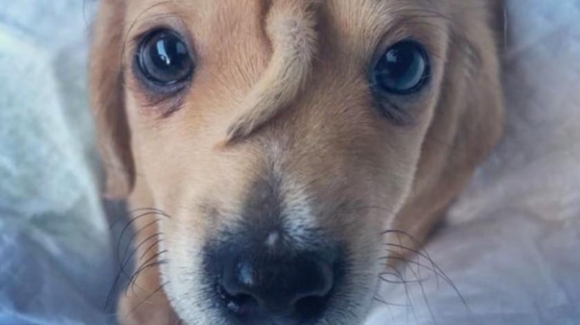 """El tierno cachorrito llamado """"perro unicornio"""" por tener una cola en la cabeza(Facebook)"""