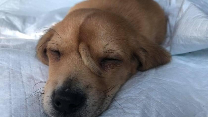 """El pequeño perro, aún no está listo para la adopción, ya que el personal quiere monitorear su """"cuerno""""."""
