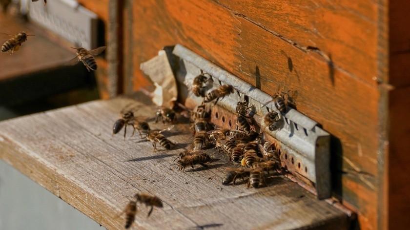 Un hombre y una mujer fueron trasladados a Moctezuma tras ser atacados por un enjambre de abejas.