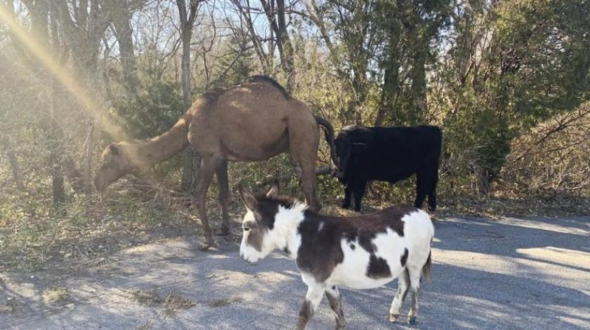 Un camello, una vaca y un burro fueron vistos juntos recorriendo un camino en Kansas, en una escena que hizo pensar en la época navideña.(AP)