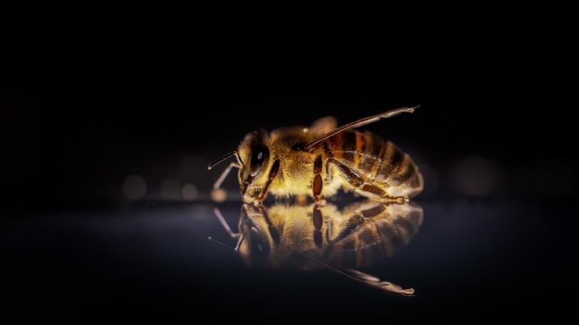 Revela estudio que las abejas saben nadar y sobreviven hasta 10 minutos en el agua(Pixabay)